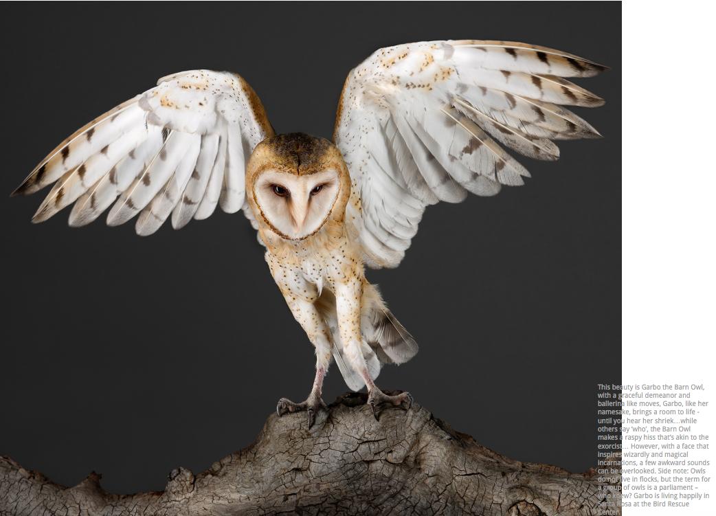 Garbo The Barn Owl