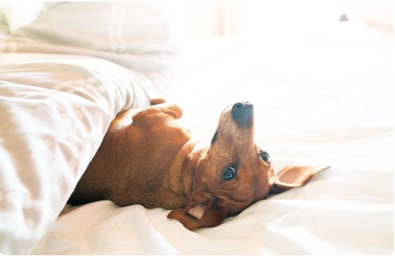 Dachsund in bed